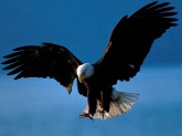 Águia_Bald_Eagle_Alaska
