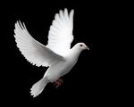 pomba-bigstockphoto_white_dove_in_flight__976408