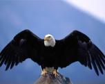 aguia-careca02