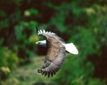 aguia-careca03