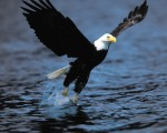 aguia-careca05