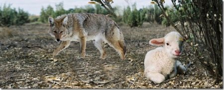 Lobo-espreitanjdo-ovelha-perdida