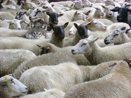 Um-lobo-no-meio-das-ovelhas